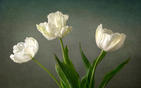 Three White Tulips
